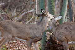 Изображение с парами оленей в влюбленности Стоковая Фотография
