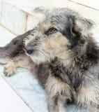 изображение тайской бездомной собаки Стоковое Изображение RF