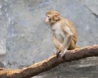 Изображение усаживания обезьяны Стоковое фото RF