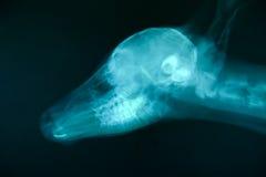 Изображение луча x дикого животного Стоковая Фотография RF