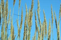 Изображение ферм пука Saccharum индийское Стоковые Фото