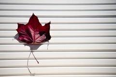 Изображение фотографии кленового листа цвета осени красного в солнечности на белой деревянной естественной предпосылке принятой ю Стоковая Фотография RF