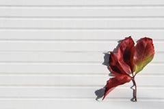 Изображение фотографии осени яркого красного кленового листа в солнечном свете на белой деревянной предпосылке принятой на южный  Стоковое Изображение