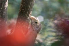 Изображение хамелеона Таиланда, микро- фото, конца вверх Стоковая Фотография RF