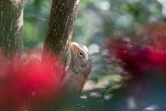 Изображение хамелеона Таиланда, микро- фото, конца вверх Стоковые Изображения