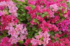 Цветок бугинвилии бумажный Стоковое Изображение RF