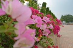Цветок бугинвилии бумажный Стоковая Фотография RF
