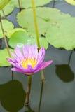 Изображение цветка лотоса на воде Стоковое Изображение RF
