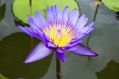 Изображение цветка лотоса на воде Стоковая Фотография RF