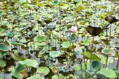 Изображение цветка лотоса на воде Стоковая Фотография