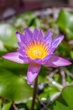 Изображение цветка лотоса на воде Стоковые Изображения RF