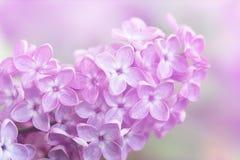 Изображение цветков сирени весны фиолетовых, абстрактная мягкая флористическая предпосылка макроса Стоковая Фотография