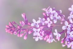 Изображение цветков сирени весны фиолетовых, абстрактная мягкая флористическая предпосылка макроса Стоковые Изображения