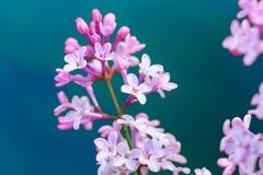 Изображение цветков сирени весны фиолетовых, абстрактная мягкая флористическая предпосылка макроса Стоковое фото RF
