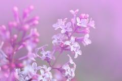 Изображение цветков сирени весны фиолетовых, абстрактная мягкая флористическая предпосылка макроса Стоковая Фотография RF