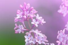 Изображение цветков сирени весны фиолетовых, абстрактная мягкая флористическая предпосылка макроса Стоковые Изображения RF