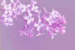 Изображение цветков сирени весны фиолетовых, абстрактная мягкая флористическая предпосылка макроса Стоковое Изображение RF