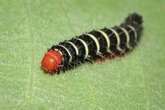 Изображение черепашки гусеницы на зеленых листьях насекомое Стоковое фото RF