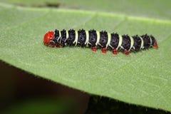 Изображение черепашки гусеницы на зеленых листьях насекомое Стоковая Фотография