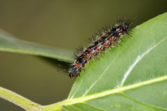 Изображение черепашки гусеницы на зеленых листьях насекомое Стоковое Фото