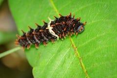 Изображение черепашки гусеницы на зеленых листьях Стоковые Изображения RF