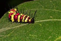 Изображение черепашки гусеницы на зеленых листьях насекомое Стоковые Фотографии RF