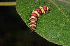 Изображение черепашки гусеницы на зеленых листьях насекомое Стоковые Изображения RF