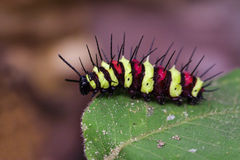 Изображение черепашки гусеницы на зеленых листьях насекомое Стоковое Изображение RF