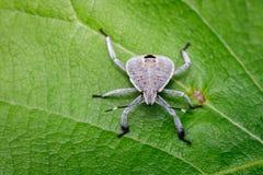 Изображение черепашки полужесткокрылых на зеленых листьях насекомое Стоковая Фотография