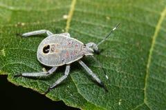 Изображение черепашки полужесткокрылых на зеленых листьях насекомое Стоковое Изображение RF