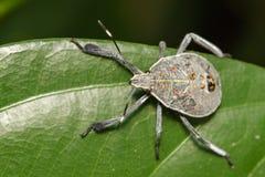 Изображение черепашки полужесткокрылых на зеленых листьях насекомое Стоковое Изображение