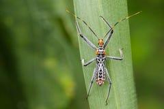 Изображение черепашки убийцы на зеленых листьях насекомое Стоковая Фотография RF