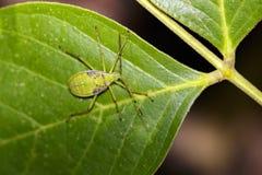 Изображение черепашок полужесткокрылых на зеленых листьях насекомое Стоковые Изображения