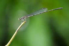 Изображение черного dragonfly threadtail & x28; Female& x29; стоковые изображения