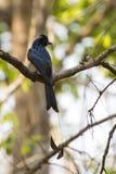 Изображение черной птицы Ракетк-замкнуло Drongo на ветви на natu Стоковые Фото
