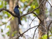 Изображение черной птицы Ракетк-замкнуло Drongo на ветви на natu Стоковые Изображения RF