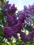 Изображение ярких фиолетовых цветков сирени стоковое изображение