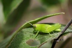 Изображение яркого ого-зелен кузнечика на зеленых листьях насекомое Стоковое фото RF