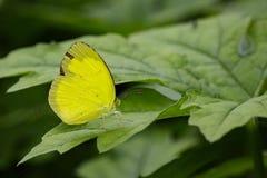 Изображение Anderson& x27; бабочки желтого цвета травы s & x28; Andersonii Eurema Стоковые Изображения