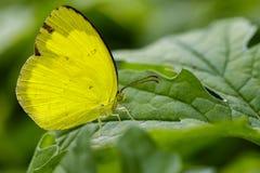 Изображение Anderson& x27; бабочки желтого цвета травы s & x28; Andersonii Eurema Стоковое фото RF