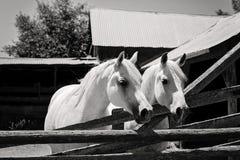 Изображение B&W 2 белых аравийских лошадей Стоковые Фото