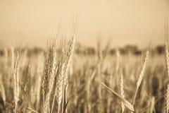 Изображение corns ячменя растя в поле Стоковые Фотографии RF