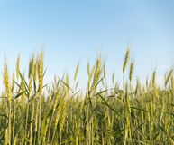 Изображение corns ячменя растя в поле Стоковое Изображение