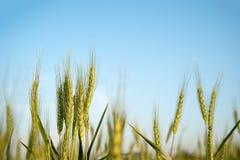 Изображение corns ячменя растя в поле Стоковые Изображения