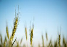 Изображение corns ячменя растя в поле Стоковая Фотография RF