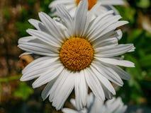 Изображение dasiy, цветок конца-вверх margarite в дневном свете стоковое фото