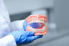 Изображение Denture с самым лучшим фокусом на зубах Дантист держа к Стоковая Фотография