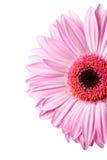 изображение gerbera маргаритки половинное Стоковые Фото