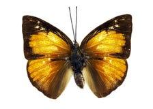 Изображение Malayan бабочки Curetis santana солнечного луча Стоковое фото RF