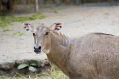 Изображение nilgai или голубого быка на предпосылке природы Стоковые Изображения RF